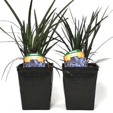 Black Mondo Grass Plants Set of 2 Potted For Container Gardens - Shade Planting