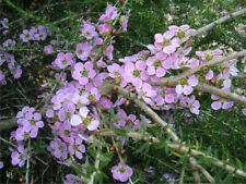 Peach Blossom Tea Tree (Leptospermum Squarrosum) - 100 Seeds