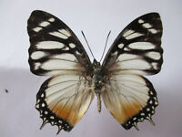 Entomologie Nymphalidae Charaxes lydiae Mâle Cameroun