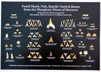 Fossil Shark Teeth & Other Morocco Fossils Poster