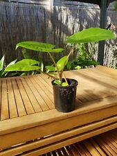 Elephant Ear Tropical Plant - Small 30cm  3137 Kilsyth - Several available