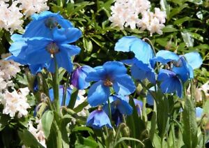 MECONOPSIS BAILEYI Himalayan Blue Poppy approx 50 seeds Flower Seed