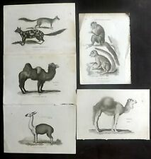 George Shaw C1805 Lot of 5 Natural History Prints. Book Plates