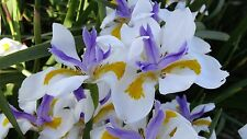 Wild Iris Seed, A Tough Perennial Thrives on Neglect Drought and Frost Tolerant