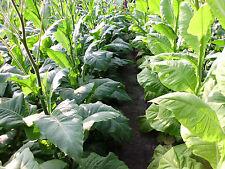 3000 Tabak Samen Virginia - Burley Mischung  Ernte 2017 Tabakpflanzen Rauchtebak