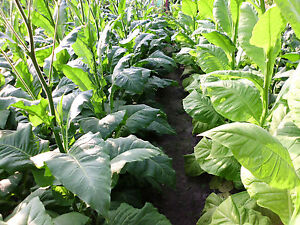 3000 Tabak Samen Virginia - Burley Mischung  Ernte 2020 Tabakpflanzen Rauchtebak
