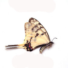 COLLECTION 5 PCS umounted butterfly papilionidae sericinus montelus CHINA A1-