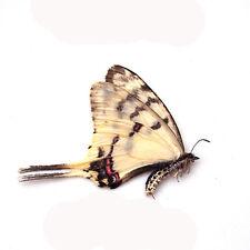 100 pcs WHOLESALE umounted butterfly papilionidae sericinus montelus CHINA A1-