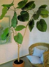 Elefantenohr-Feige: Riesen-Blätter für lichtarme Räume
