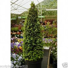 2 x Real Buxus Cones 40-50CM TALL -  POT GROWN (e576)