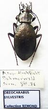 Carabus oreocarabus sylvestris (female A1 but was pinned) from AUSTRIA