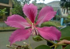 30 Semi Bauhinia purpurea Fiore rosa Farfalla Orchidea Orchid seeds tropical