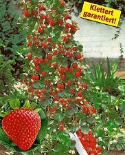 100x Riesen Wald Erdbeeren Rot Samen Saatgut Pflanze essbar Obst #111