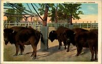Buffaloes Lincoln Park Chicago IL Vintage Postcard EE1