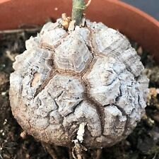 1274. Testudinaria elephantipes CAUDEX Sämling/seedling  / ariocarpus