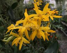 New listing Botanica Ltd. Cattleya alvaroana *Blooming Size Division* Species Orchid Plant