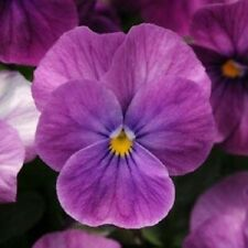 30+ Viola Purple Ice Sorbet / Shade-Loving / Perennial Flower Seeds