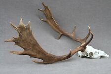 WILD FALLOW DEER TROPHY (HORN, KNIFE, CARVING, CHEW, TAXIDERMY)