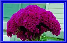 Massive Purple Brain Head Celosia 4 ft tall - 25 Seeds - Comb.S/H