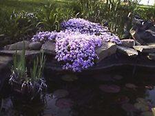 10 Creeping Phlox Bear Root Plants  - Bright Lavender – Perennial