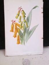 Vintage Print,LACHENALIA,Familiar Garden Flowers,Hulme