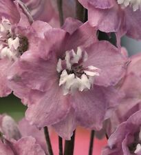 Delphinium - Magic Fountains Lilac Pink with White Bee - 50 Seeds