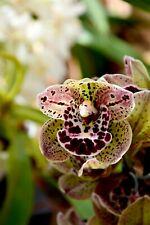 """Cymbidium hybride """"Magic vogel"""", XL Orchidée 2-3 tiges floral , Orchid"""