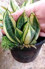 "4"" Sansevieria paten Yellow-green rare succulent outdoor indoor snake plant 2018"