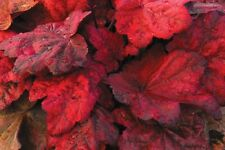 Heuchera Autumn Leaves Coral Bells Live Plant Color Year Round Flowers n Summer!
