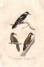 WOODPECKERS. Great Spotted, Checkered & Hispaniolan Woodpeckers. BUFFON 1837