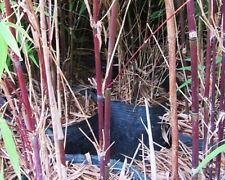 Fargesia albocerea 'Black' (Hardy chocolate-brown bamboo) V. Rare 10 fresh seeds