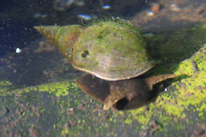 Pond snail package. Hornwort oxygenating pond plant & 10 Stagnalis pond snails