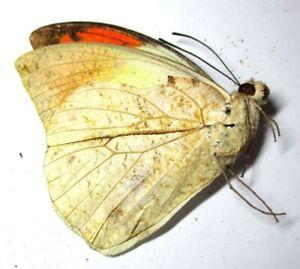H004 Mi : DV : Butterflies: Appias albina semperi male 51.5mm********