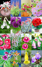 COLOR SINNINGIA MIX rare african violets fragrant garden flower seed 100 seeds