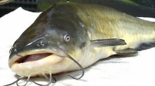 10  LIVE YELLOW BULLHEADS, BULLHEAD CATFISH FOR BREEDING POND, AQUARIUM