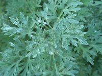 100-500 Wormwood seeds Artemisia absinthium Absinthe herb bitters medicinal
