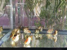 "THAI SHORT TAIL RYUKIN GOLDFISH Red/White Color 1.5"" to 2"" For Aquarium or Pond."