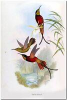 "Vintage John Gould Hummingbird Bee Eater Art CANVAS PRINT~Topaza Pella 24x16"""