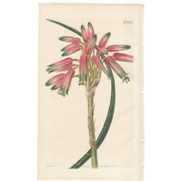 Curtis Botanical Magazine antique 1821 hand-colored engraving Pl 2272 Aloe