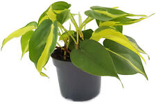 Limonengrüner árbol amigo Philodendron scandens Brazil decorativas