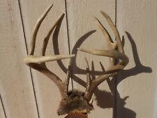 Crossing Beams Whitetail Deer Rack 127 3/8 B&C Antlers mule mount taxidermy elk