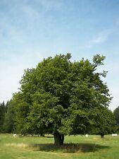 """Hainbuche Carpinus betulus 500 Samen """" NUR 7,50 EURO"""""""
