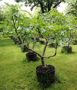 FIG TREE Ficus Carica x100 seeds Fruit Mulberry Flowering Plant Capri Eco Bio