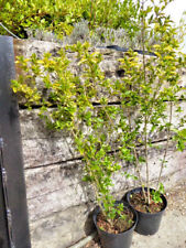 QTY-5 Common Wild Privet, Ligustrum vulgare 3ft Starter Transplant Seedlings #RB