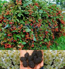 Amazing HUGE producer! 'Natchez Hybrid' THORNLESS Blackberry 5 gal/plant! SEEDS.
