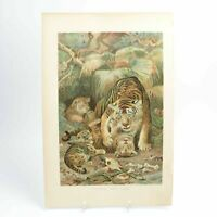 Tigress and Cubs natural history print antique colour lithograph 19th century