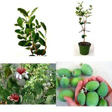 "Pineapple Guava Plant Easy to Grow Feijoa Acca sellowiana Τubs 4"" Pot Garden New"