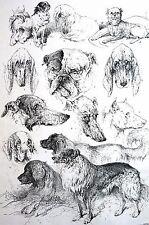 Weir KENNEL CLUB DOG SHOW Prize Dogs Bulldog Bloodhound 1886 Antique Matte Print