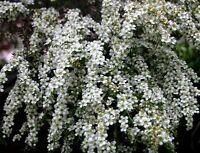 Tantoon Tea Tree Seed Excellent Flowerer Weeping Habit Drought & Frost Tolerant
