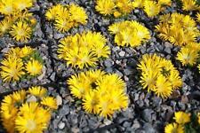 4x Delosperma Winterharte Mittagsblumen Staude Steingarten Gelbe Farben  Gr. L